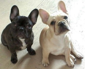french_bulldog3